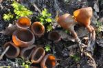 Anemone Cup (Dumontinia tuberosa)